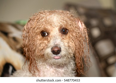 A wet Cavapoo puppy dog after a bath. The Cavapoo is an offspring between a King Charles Spaniel and a Poodle.