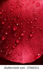 Wet close up macro rose petals with water drops
