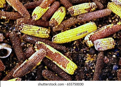 Wet corn cobs milled as animal feed. Waste from the end of corn shelling process