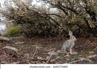 A wet cottontail rabbit sits under a row of scrub oak bushes with brown and green leaves as it looks off to the right.