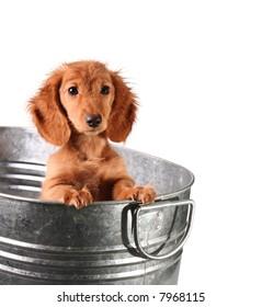 Wet dachshund puppy in a bucket