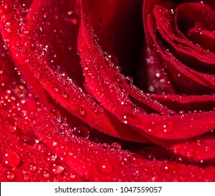 Wet Dark Red Roses With Water Drops. Flower Background. Rose Maze