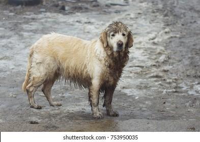 wet and dirty golden retriever.