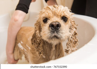 Wet dog. American cocker spaniel in the bathroom. Dog looks at the camera. Grumer washes the dog with foam and water.