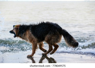 wet dog by the sea playing with waves