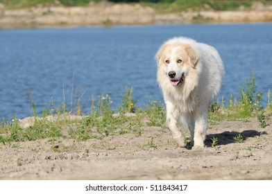 wet  dog great pyrenees running in front of the sea