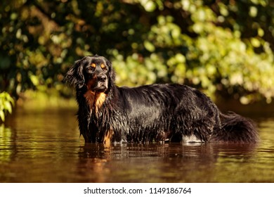 wet dog hovawart nice portrait