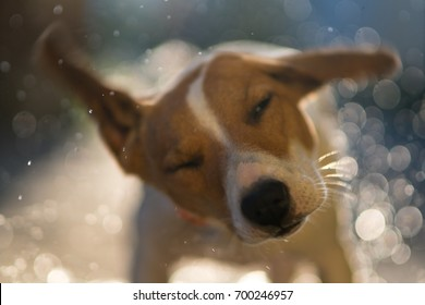 Wet dog jack russell terrier shakes off the water on a sunset background with flying sprays and bokeh shooting in motion blur