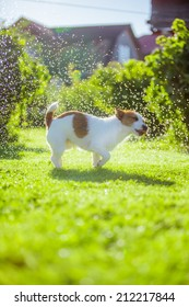 Wet dog shakes and plays, Jack Russell Terrier