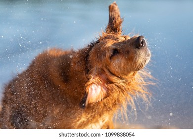 Wet dog shaking off after swiming