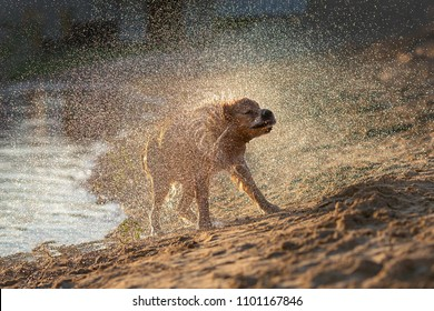 Wet dog shaking off after swimming in sunset light