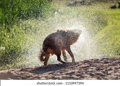 Wet dog shaking off after swimming in the water, sunset light
