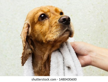 wet dog in a towel after a shower, cocker spaniel breed