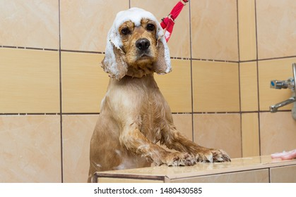 wet dog washes in the shower, cocker spaniel breed