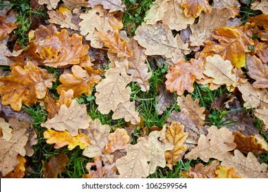 Wet fallen oak leaves with water drops on ground in forest.