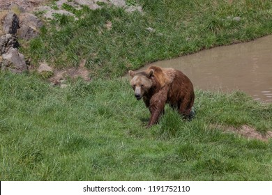 A wet female brown bear exits a muddy pond and walks across green grass in the spring sunshine.