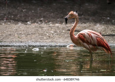wet flamigo stands in the water of a lake