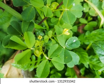 Wet flower of spotted medick, burclover or heart clover, Medicago arabica, growing in Galicia, Spain