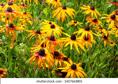 Wet flowers of yellow rudbeckia. Blooming flowers of yellow rudbeckia (black-eyed susan) flower garden in the summer garden. Soft floral background, selective focus.