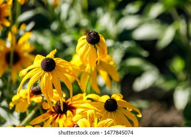 Wet flowers of yellow rudbeckia. Blooming flowers of yellow rudbeckia (black-eyed susan) flower garden in the summer garden