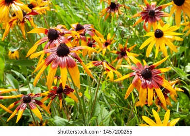 Wet flowers of yellow rudbeckia with raindrops. Wet blooming flowers of yellow rudbeckia (black-eyed susan) flower garden in the summer garden. Soft floral background, selective focus.