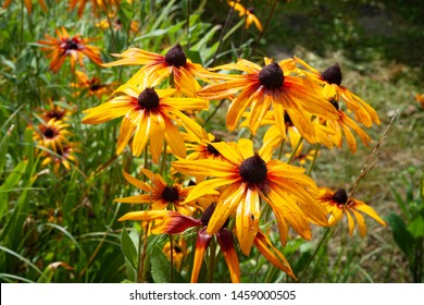 Wet flowers of yellow rudbeckia with water drops. Wet blooming flowers of yellow rudbeckia (black-eyed susan) flower garden in the summer garden. Soft floral background, selective focus.