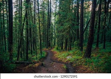 Wet footpath through rainy forest. Slush on hiking path. Dark forest landscape with old high pines with copy space. Coniferous trees and vegetation on hill closeup. Mountain atmospheric scenery.