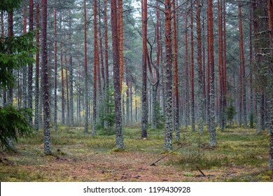 Wet forest trees background