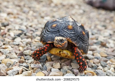 A wet, four year old, male Red-Footed Tortoise walking outside.