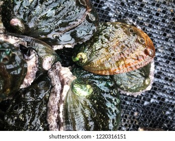 Wet fresh abalone with beautiful vibrant green shells