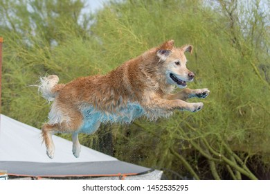 A wet golden retriever dock diving jumping into the pool