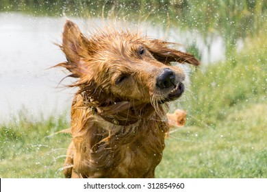 A wet golden retriever shaking water off in the grass next to a pond.