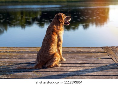 Wet golden retriever sitting on the wooden bridge by the water in sunset light
