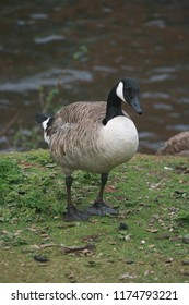 A wet goose emerging onto dry land.