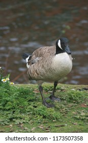A wet goose walking onto dry land.