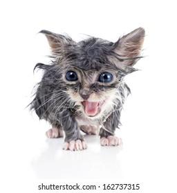 Wet gray kitten meows