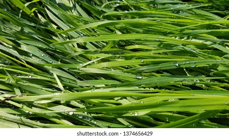 Wet green grass texture with water drops after rain. Rain droplets are shining at sunlight on the meadow. Blades of grass closeup. Fresh plants background. Spring growth backdrop. Summer field