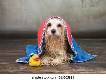 wet havanese dog
