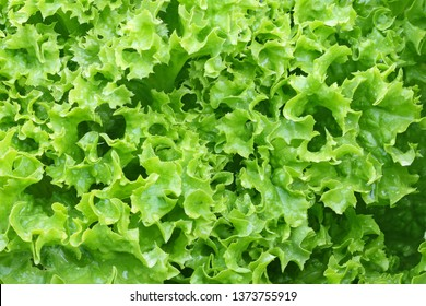 Wet Home grown Green curly Lettuce Salad leaves in the garden, Closeup top view photo