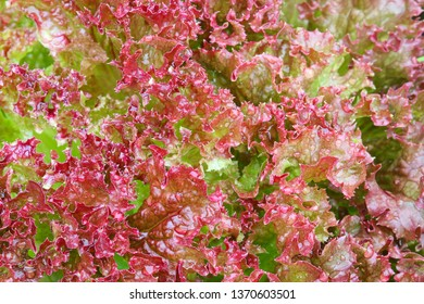 Wet Home grown Red curly Lettuce Salad leaves in the garden, Closeup top view photo