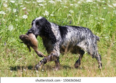a wet hunting spaniel carries the duck in its teeth across a meadow