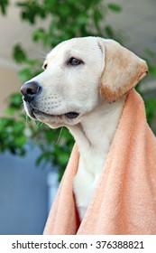 Wet Labrador dog's head in towel on unfocused background, closeup