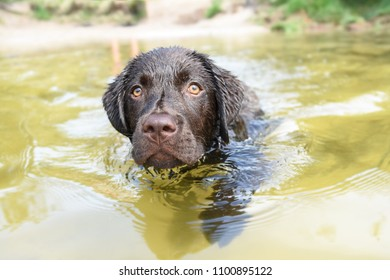 Wet Labrador puppy dog in the water swimming forward