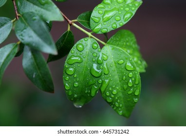 Wet leaves of morning dew - Shutterstock ID 645731242