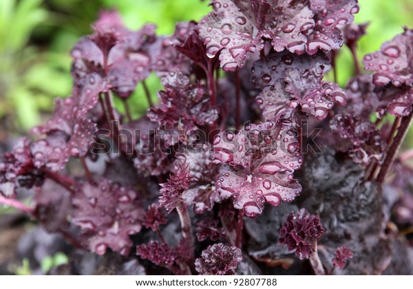 The wet leaves of an Obsidian Coral Bells (Heuchera) flower.