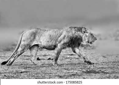 Wet Lion running to his brothers in Masai Mara, Kenya