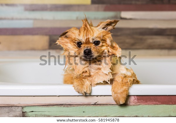 Wet little dog with one ear raised, sitting in the bathroom. Bathing pomeranian spitz