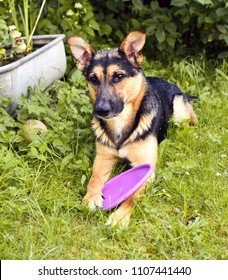 Wet mixed-breed dog between German shepherd and Labrador Retriever lying with his dog toy in the grass after showering