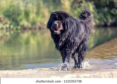 Wet newfoundland. Beautiful big black dog is playing over the water.