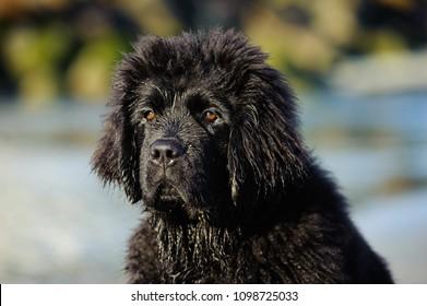 Wet Newfoundland puppy dog outdoor portrait at ocean beach